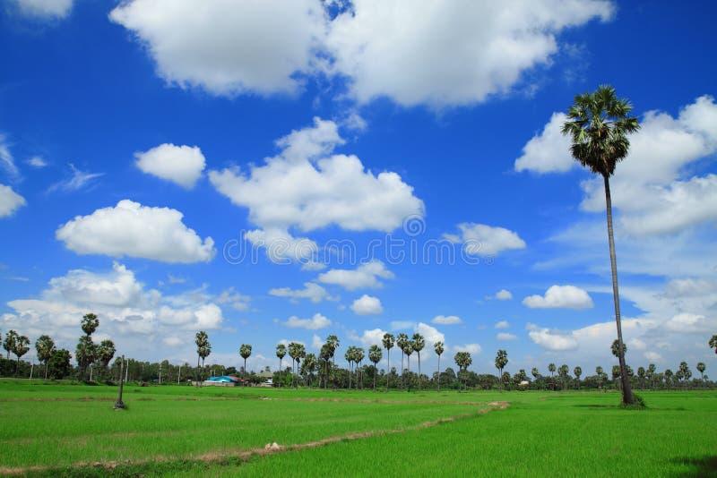 Palmiers de sucre dans le domaine, Thaïlande photographie stock