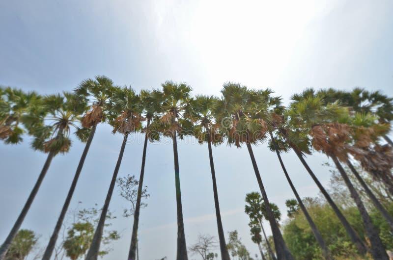 Palmiers de sucre sous le soleil photo stock
