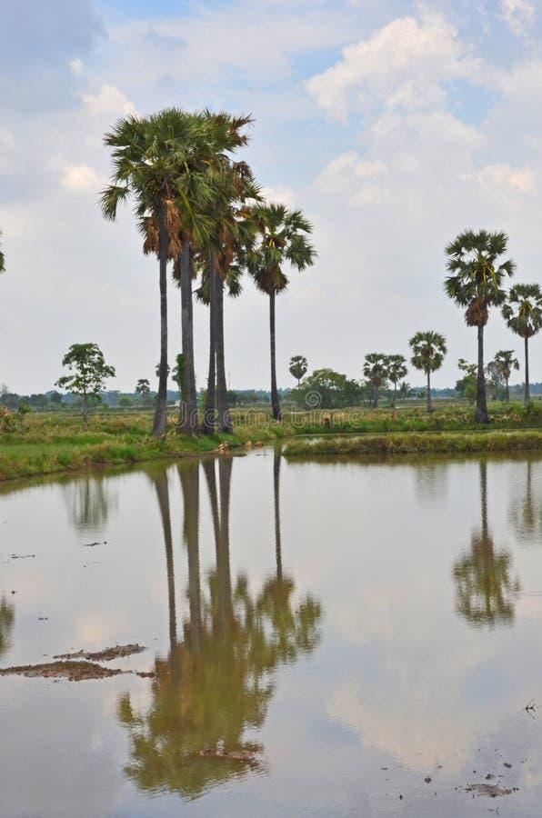 Palmiers de sucre sur les arêtes et réflexion dans le domaine de l'eau photo libre de droits