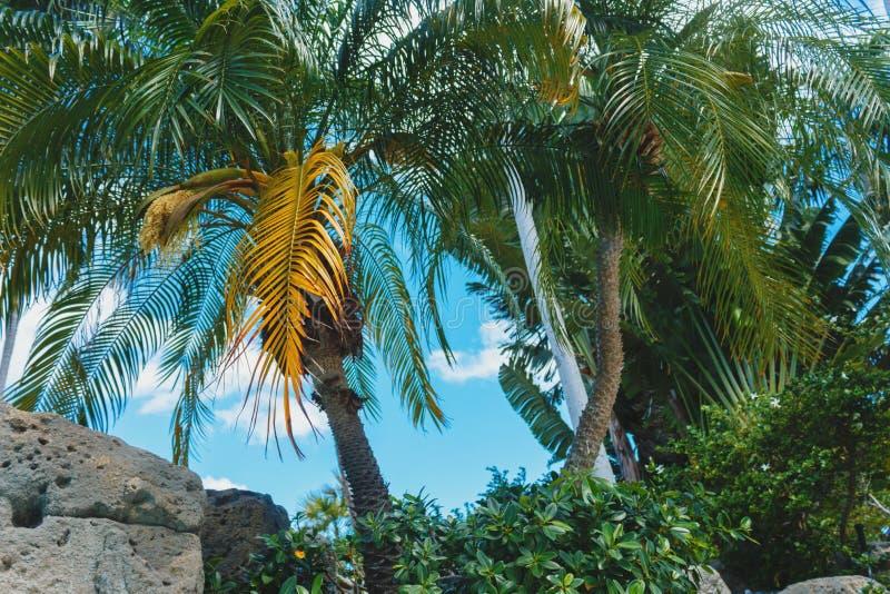 Palmiers de vert de noix de coco sous le soleil, beau fond exotique tropical ?t?, vacances, lieu de vill?giature luxueux, vacance photographie stock libre de droits