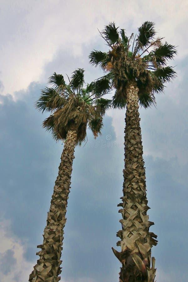 Palmiers grands contre le ciel avec des nuages images libres de droits