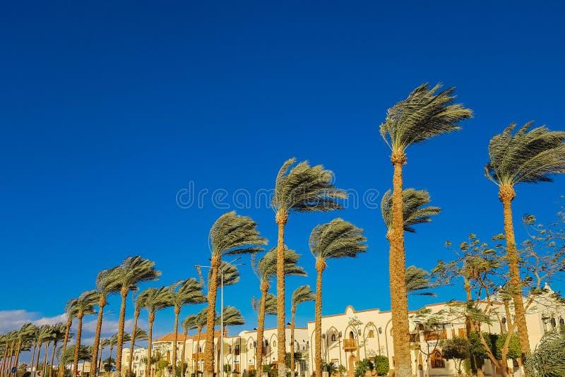 Palmiers grands contre un ciel bleu profond images libres de droits