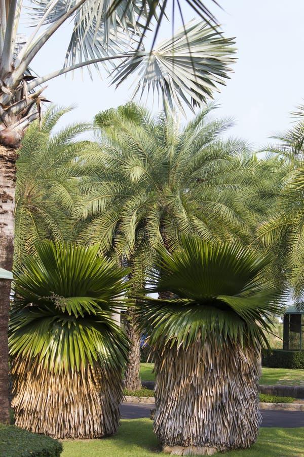 Palmiers peu communs photo stock
