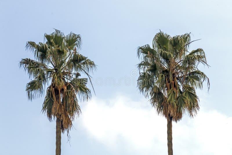 Palmiers secs d'hiver sur le fond bleu de ciel nuageux images libres de droits