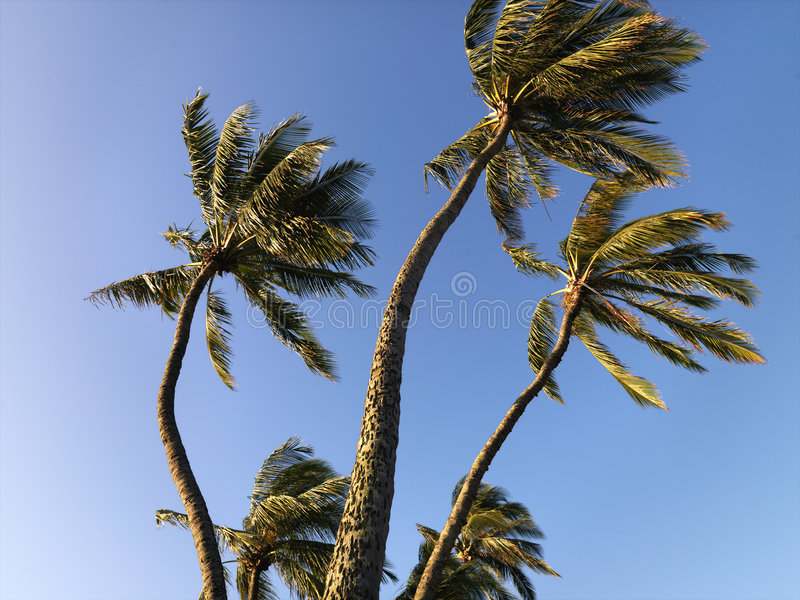 Palmiers soufflant en vent. image stock