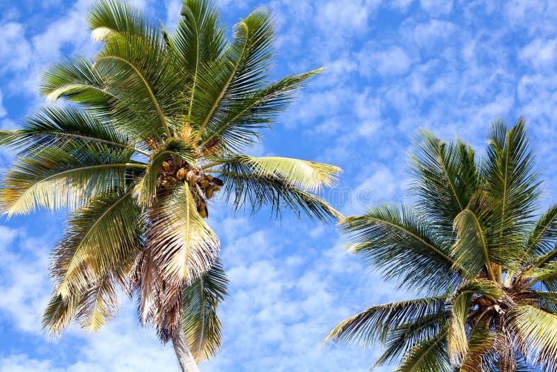 Palmiers sur le ciel bleu et les nuages blancs fond, branches de paume sur le fond de ciel, silhouettes des palmiers, palmiers de images libres de droits