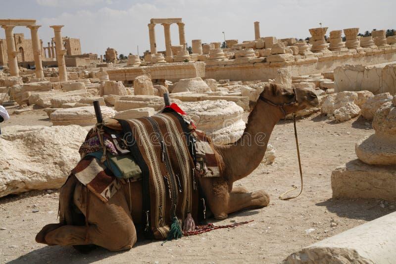 Palmira, Siria. Camello fotografía de archivo libre de regalías