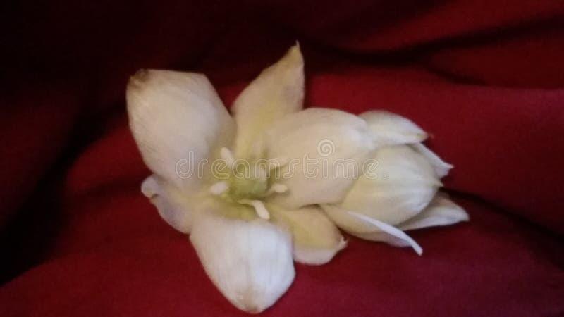 Palmliljablomma royaltyfri foto