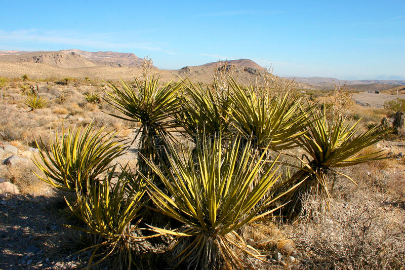 Palmliljaträd i bergen, Joshua Tree National Park arkivfoton