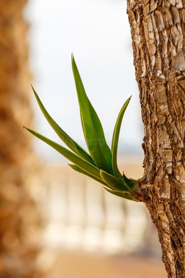 Palmliljaväxt arkivfoton