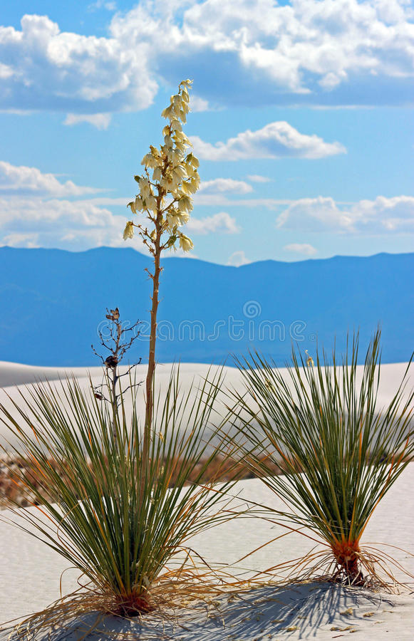 Palmliljaväxtvit sandpapprar den nationella monumentet royaltyfri foto