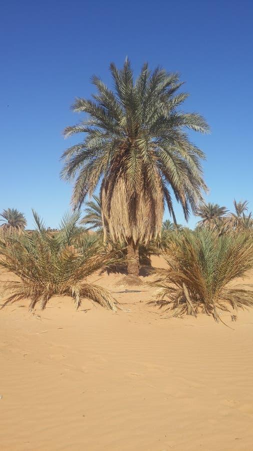 Palmoase in woestijn van Algerije stock afbeelding