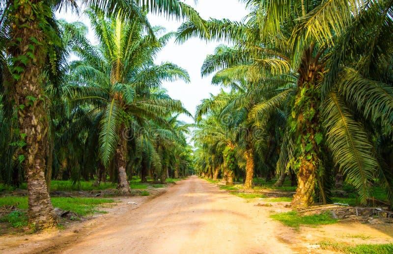 Palmolieaanplanting stock foto's