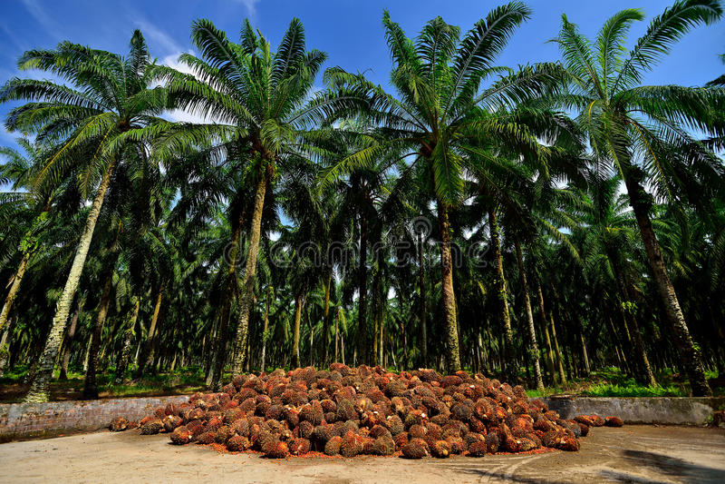 Palmolieproductie in Maleisië stock afbeelding