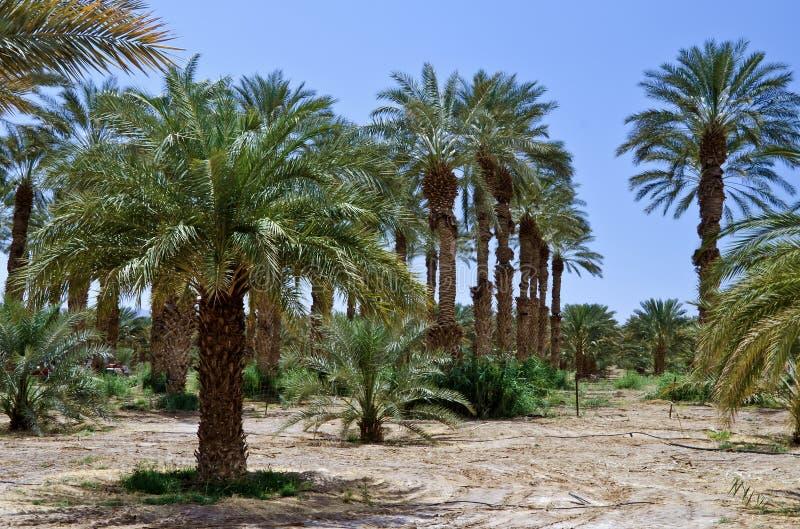 palmowa Israel daktylowa plantacja s fotografia stock
