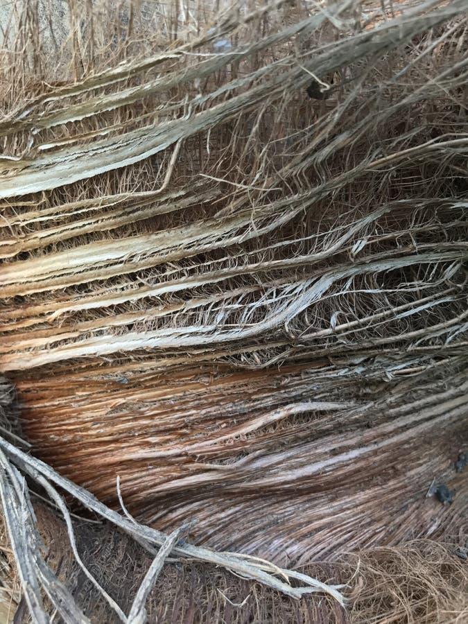 Palmowa sheath tekstura obrazy royalty free