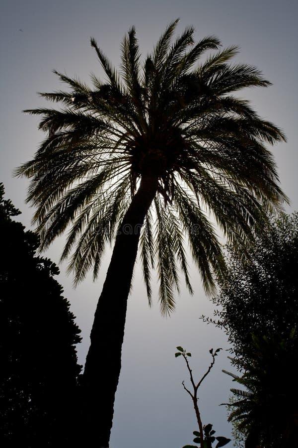 Palmowa sylwetka fotografia royalty free