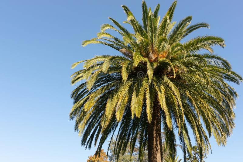 Palmowe gałąź wyspy kanaryjskiej Daktylowa palma Phoenix Canariensis przed jasnym niebieskim niebem obrazy stock