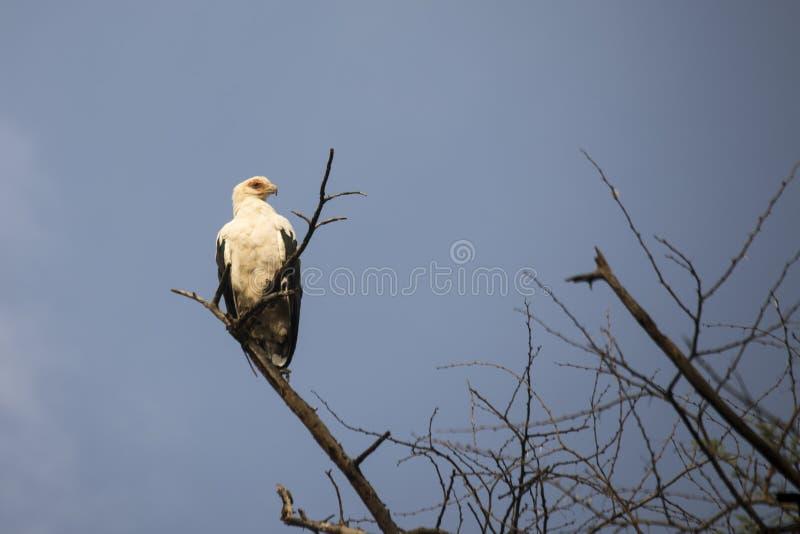 Palmowej dokrętki sęp w drzewie, Jeziorny Manyara park narodowy, Tanzania fotografia royalty free