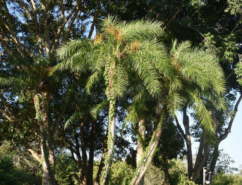 Palmowi i dębowi drzewa w świetle słonecznym zdjęcie royalty free