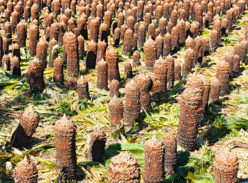 palmowi plantaci przygotowania drzewa młodzi fotografia stock
