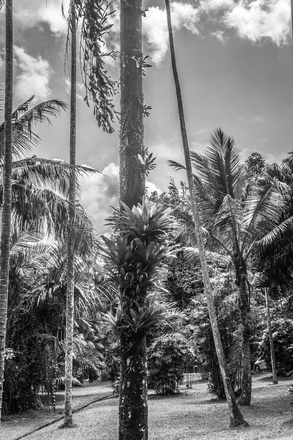 Palmowy i kokosowy drzewo przy ogródem w czarnej białej tryb fotografii brać w Kebun Raya Bogor Indonezja zdjęcie stock
