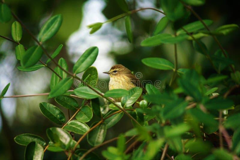 Palmowy Warbler obrazy royalty free