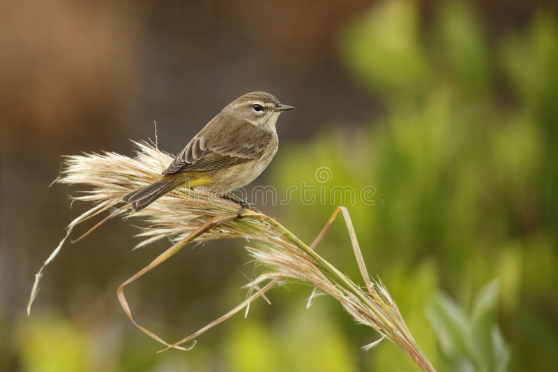 Palmowy Warbler - Merritt wyspa, Floryda zdjęcia royalty free