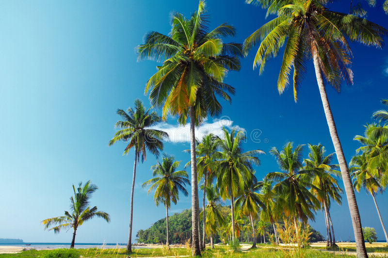 Palms. View of tropic palms and island early in the morning royalty free stock images