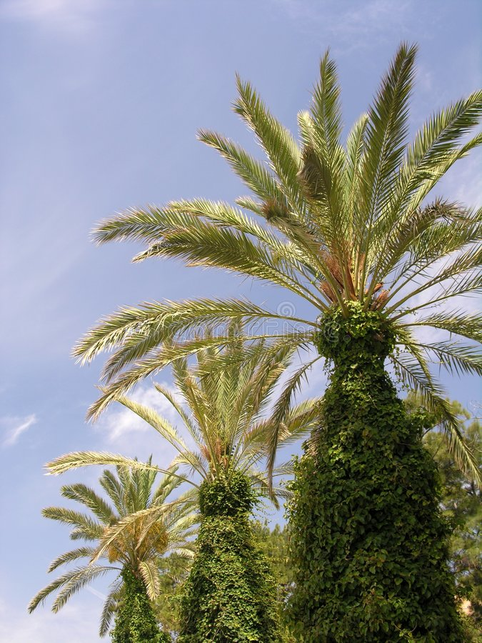 Download Palms stock photo. Image of nature, three, palm, blue, alameda - 192552