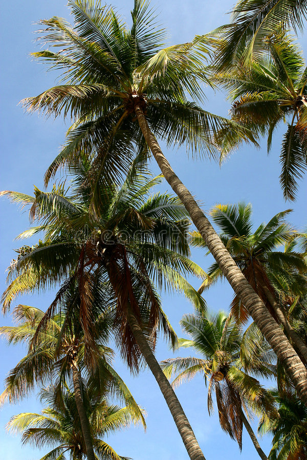 Download Palms stock image. Image of nature, guerrero, america, acapulco - 516363