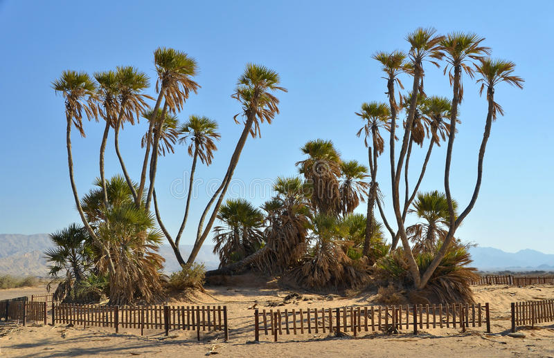 Palms in Avrona nature reserve, Eilat, Israel. Rare Doum plams in Avrona nature reserve, Arava, 5 km from Eilat stock images