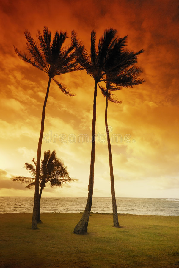 Palms and beach. Palms in grass at sunset royalty free stock photo