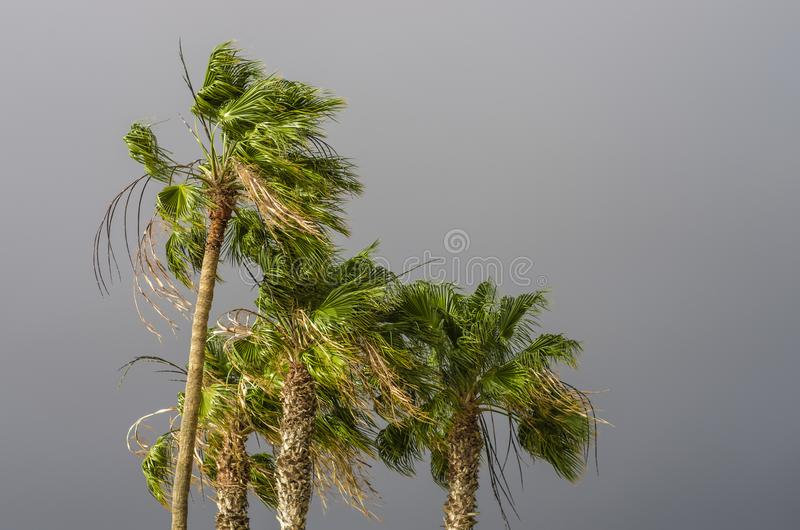 Palms bending on the wind royalty free stock photo