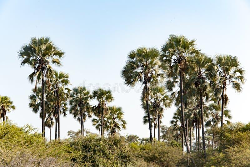 Palms in Botswana royalty free stock photo