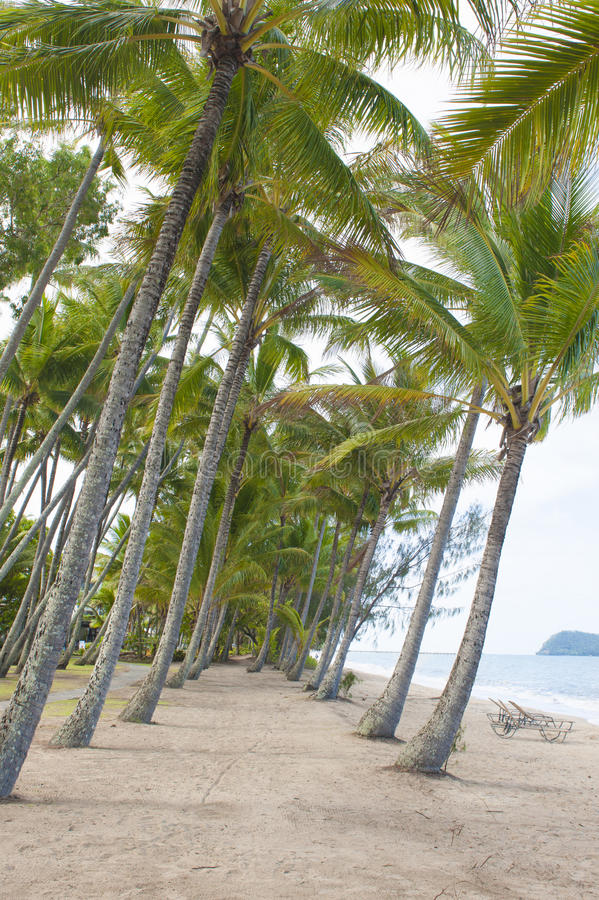 Palms bowed down from the wind. In Cairns on the east side of Australia royalty free stock photo