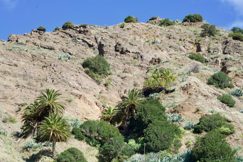 Palms on a mountain. Canary trees on a mountain of La Gomera royalty free stock images