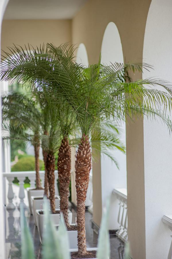 Palms in pots interior royalty free stock images