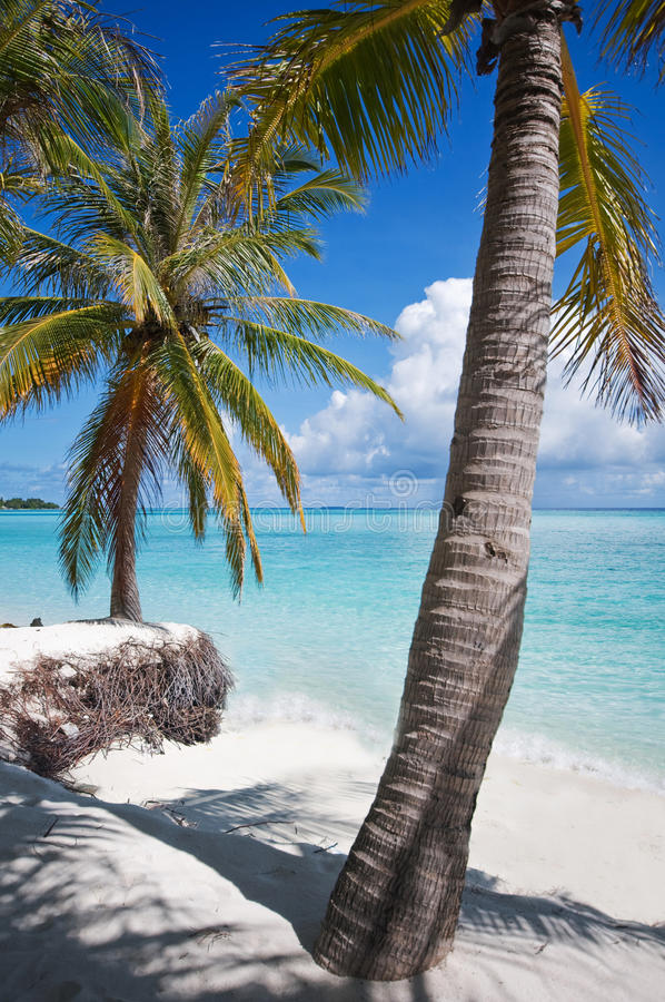Palms on the shore of Maldivian island. With view of the blue ocean royalty free stock image