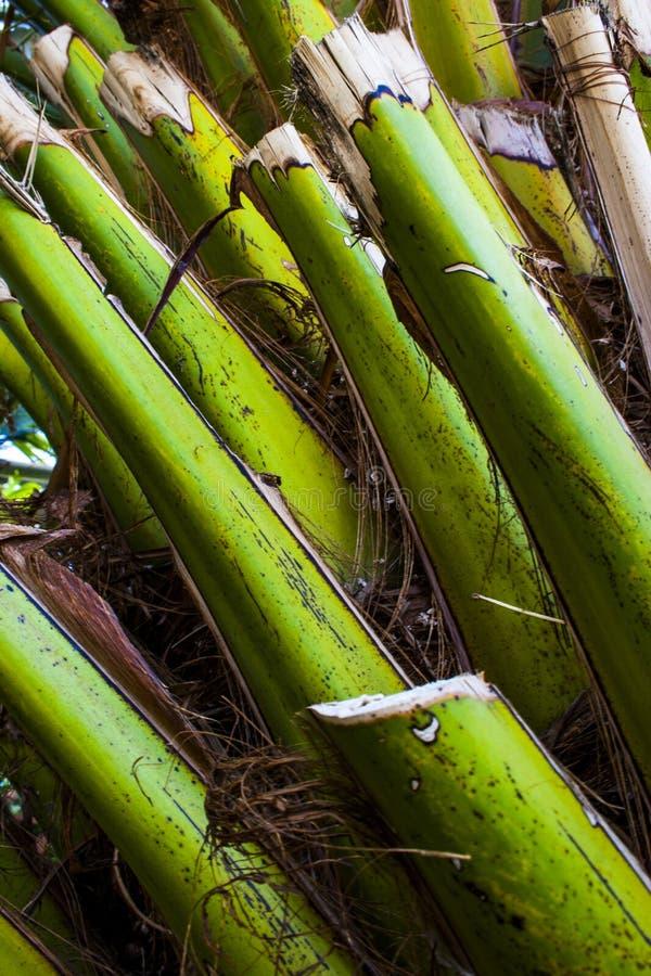 Palmschalen op de boomstam royalty-vrije stock foto
