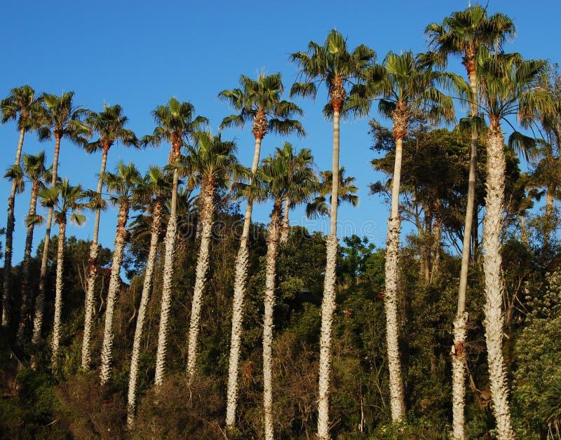 Download Palmträd fotografering för bildbyråer. Bild av kalifornien - 19785649
