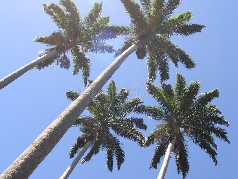 Download Palmträd fotografering för bildbyråer. Bild av vändkretsar - 31185