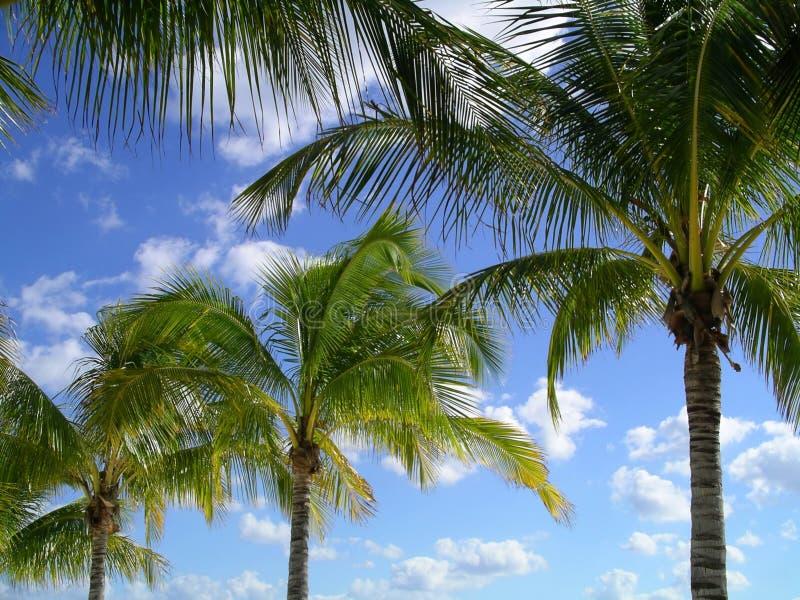 Download Palmträd fotografering för bildbyråer. Bild av skies, vitt - 46663