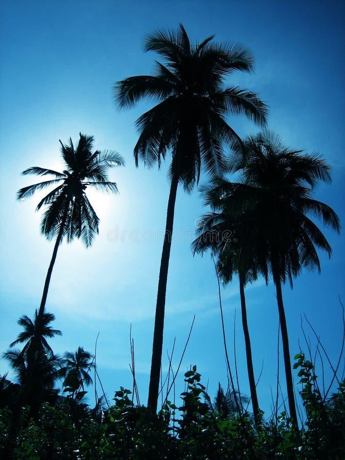 Download Palmträd arkivfoto. Bild av lopp, kokosnöt, skymning, vändkretsar - 995766