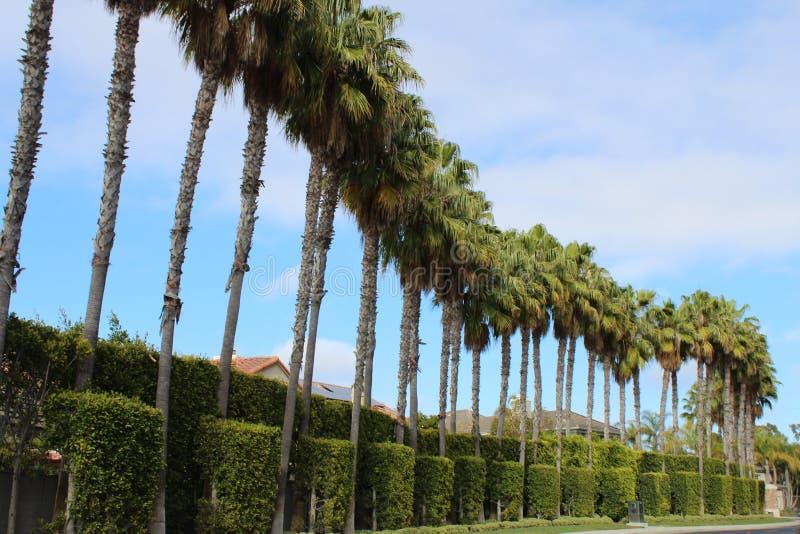 Palmträd av Beverly Hills och Los Angeles Kalifornien arkivfoto
