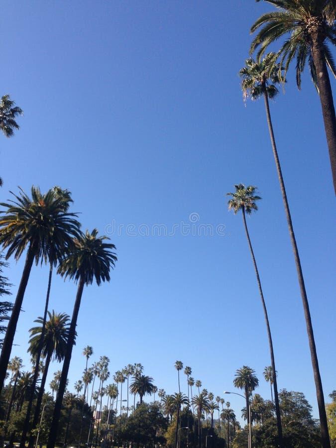 Palmträd i Beverly Hills royaltyfri bild