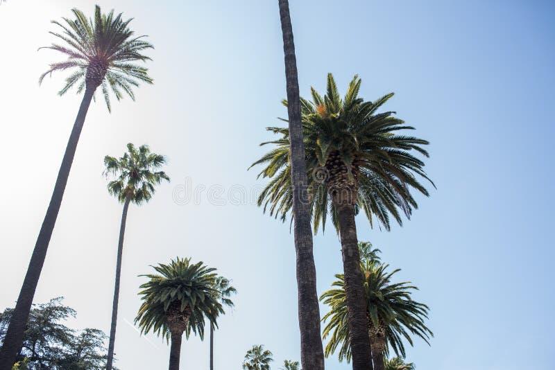 Palmträd i Beverly Hills fotografering för bildbyråer
