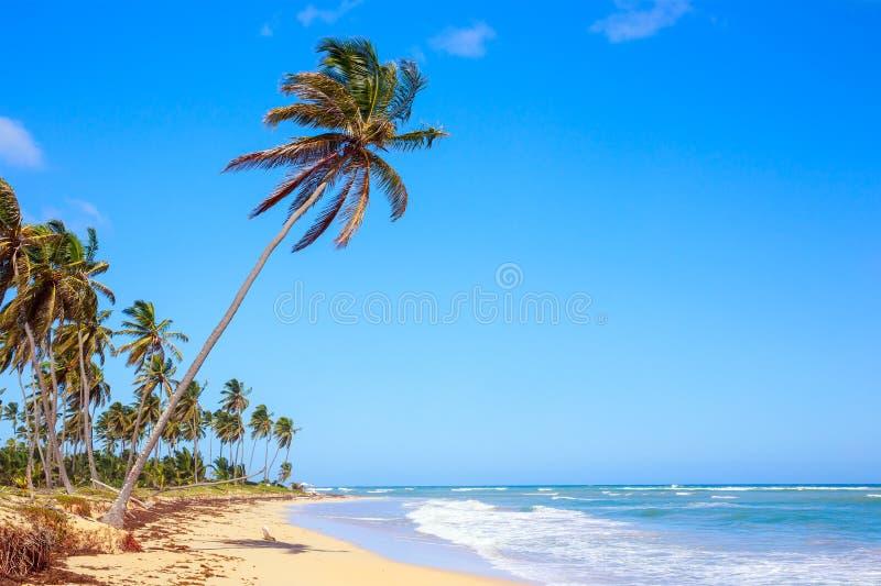 Palmträd i Dominikanska republiken royaltyfri fotografi