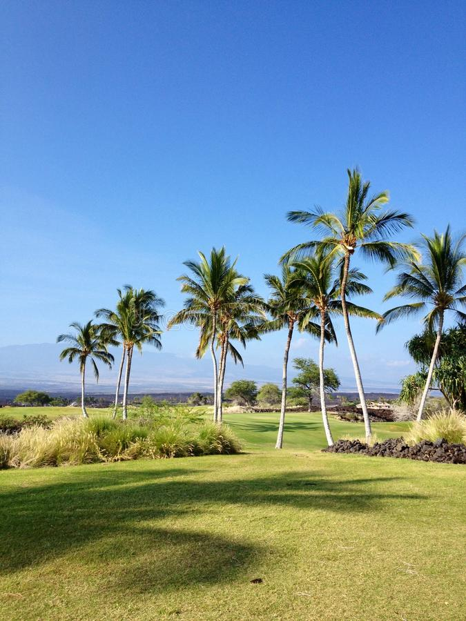 Palmträd i Hawaii arkivbild