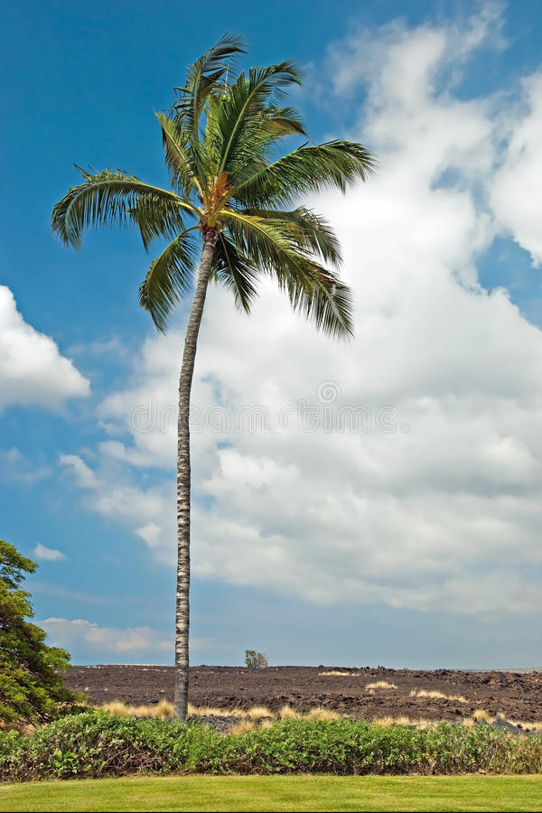 Palmträd i Kona på den stora ön Hawaii med lavafältet i backgr royaltyfria bilder